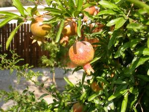 We think this is a pomegranate bush? In the back yard garden