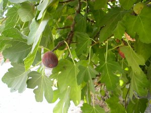 They have a fig tree!  We've been picking and eating - delicious!