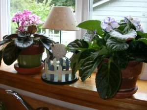African Violets on my kitchen window sill