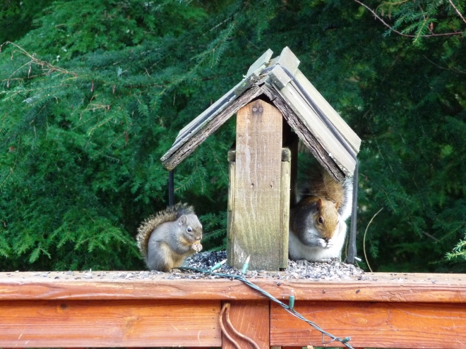 A brown squirrel and a larger gray squirrel, having a snack