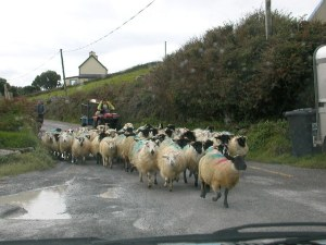 "Sheep being herded down the main ""highway"" around Dingle Peninsula"