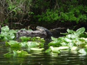 Alligator, sunning on a log